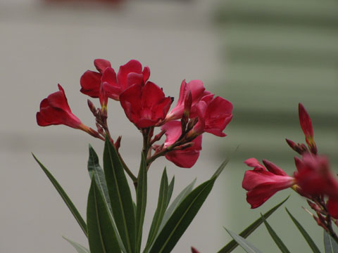 A pink oleander flower against a pale green background